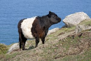 Belted Galloway Cow - coast