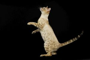 Bengal Cat - snow colouring - on hind legs