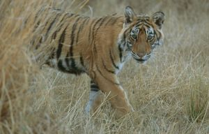 Bengal / Indian Tiger - 6 month old male cub, in grass