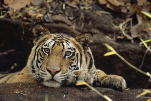 Bengal / Indian Tiger - on black rock