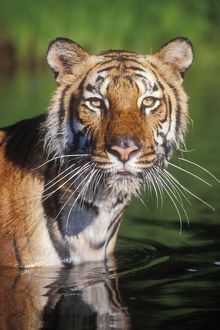 Bengal / Indian TIGER - close-up of face in water