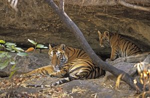 Bengal / Indian Tiger - with cub resting in cave