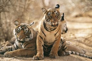 Bengal / Indian Tiger - three cubs, (11 months old)