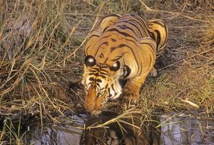 Bengal / Indian Tiger - drinking at jungle pool