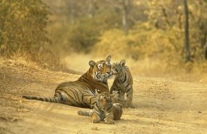 Bengal / Indian TIGER - lying on dirt track with cubs