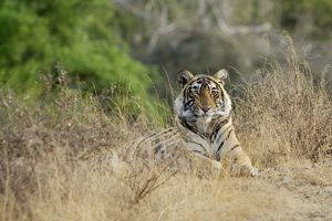 Bengal / Indian tiger - Lying down - Ranthambhore