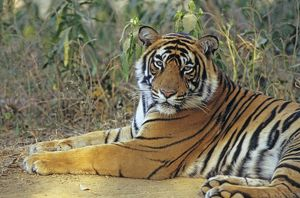 Bengal / Indian Tiger - male