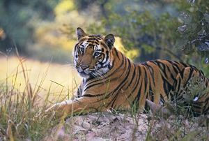 Bengal / Indian Tiger - resting on mound