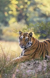 Bengal / Indian Tiger - resting on termite mound