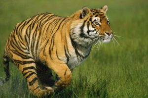 Bengal / Indian TIGER - running in grass
