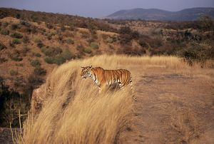 Bengal / Indian TIGER - standing in grass