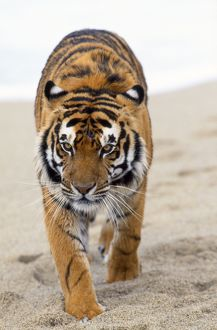 Bengal / Indian TIGER - walking in sand