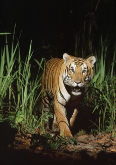 Bengal / Indian TIGER in wild at night