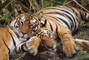 Bengal / Indian TIGER - x two resting
