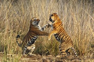 Bengal / Indian Tigers - two young play fighting