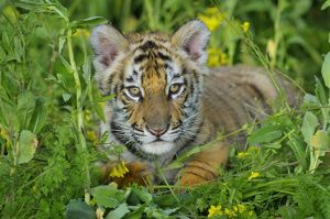 Bengal Tiger - cub, Endangered Species