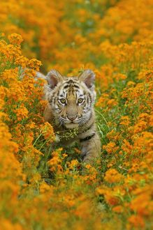 Bengal tiger - cub amongst Mustard flowers, Endangered Species
