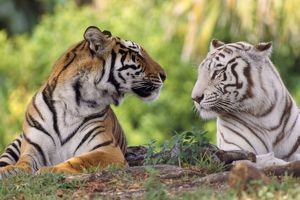 Bengal Tiger - normal & white looking at each other