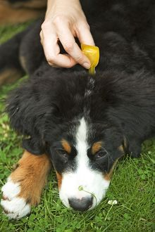 Bernese Mountain Dog - being given flea medication.