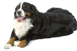 Bernese Mountain Dog. Also known as Berner Seenehund or Bouvier Bernois (French)
