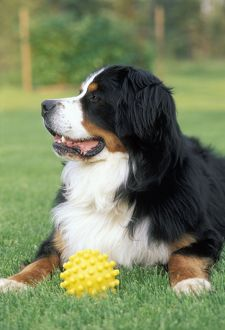 Bernese Mountain Dog, male with toy in grass