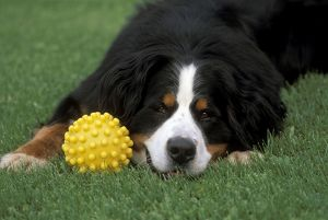 Bernese Mountain Dog - Male with toy, laying in grass