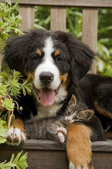 Bernese Mountain Dog - three month of puppy with two month old tabby kitten