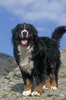 Bernese Mountain Dog - With mouth open and tongue out