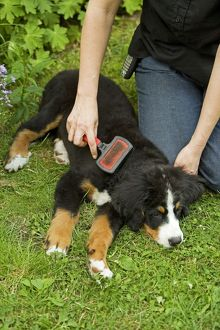 Bernese Mountain Dog - puppy being brushed