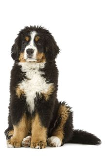Bernese Mountain Dog - puppy. Also known as Berner Sennenhund or Bouvier Bernois (French)