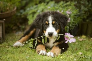 Bernese Mountain Dog - puppy lying down with flower in mouth.