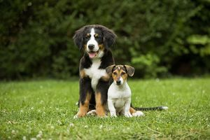 Bernese Mountain Dog - puppy sitting with three month old Jack Russell Terrier.