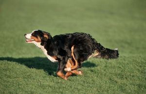 Bernese Mountain Dog running in garden
