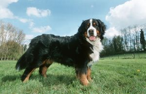 Bernese Mountain Dog, standing, side view in meadow