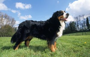 BERNESE MOUNTAIN DOG - STANDS