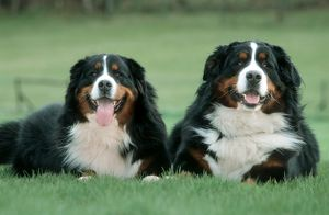 Bernese Mountain Dogs - Pair lying in garden