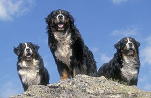 Bernese Mountains Dogs - 3 together standing on rock
