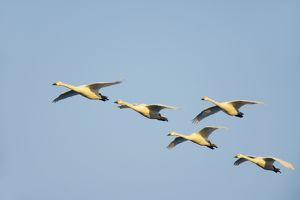 Bewick's Swan - In Flight