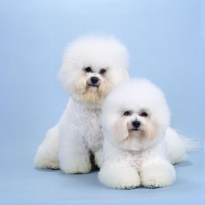 Bichon Frise DOG - x two