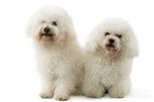 Bichon Frise. Also known as Tenerife Dog