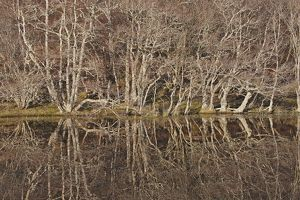 Birch Trees - reflected in pond