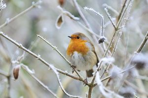 Bird - Robin in frosty setting