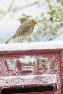 BIRD. Robin on old red letterbox in snow