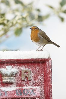 BIRD. Robin sitting on an old red postbox in winter snow