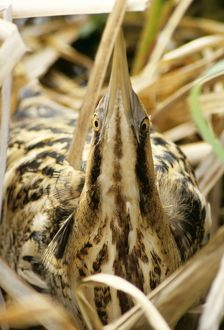 BITTERN - at nest, in reeds