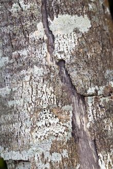 Black Arches Moth - on tree bark