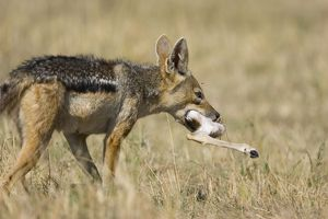 Black-backed Jackal - Carrying Thomson's gazelle leg.