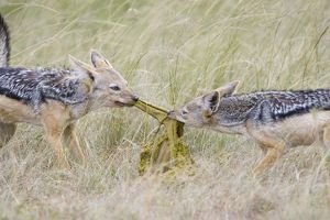 Black-backed Jackal - Pulling apart stomach of