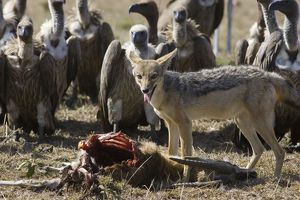 Black-backed Jackal - Surrounded by vultures at