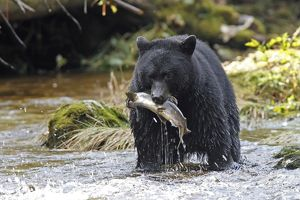 Black bear fishing for salmon in a river